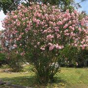 Un magnifico oleandro rosa in fiore