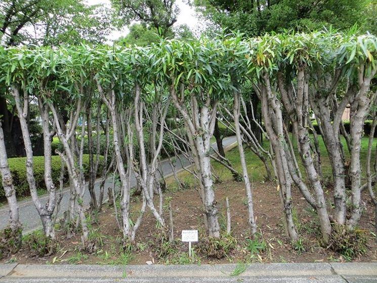 Arbusti di oleandro dopo la potatura