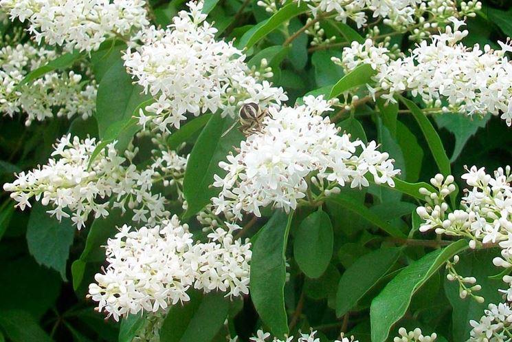 Pianta di lugustro fiorita