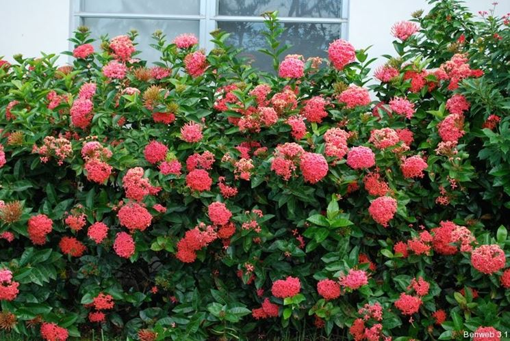 Siepi Da Giardino Fiorite : Siepi da giardino siepi da giardino sempreverdi siepi