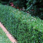 Piante da giardino sempreverdi piante da giardino le for Pianta bosso prezzo