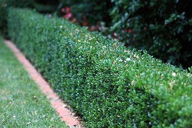 Siepe di Buxus sempervirens