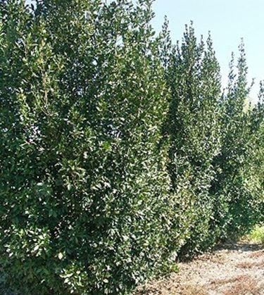 Quali piante scegliere per siepi sempreverdi siepi for Siepe di alloro