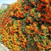 Un esempio di siepe formata da piante di pyracantha con bacche colorate