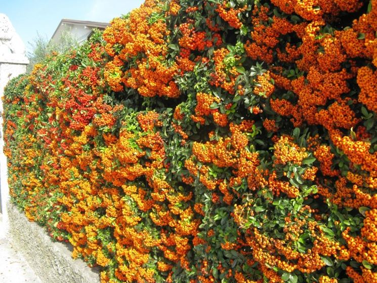 Piante da siepe prezzi siepi costo delle piante da siepe - Siepi da giardino fiorite ...