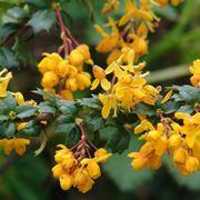 Foglie e fiori di Berberis