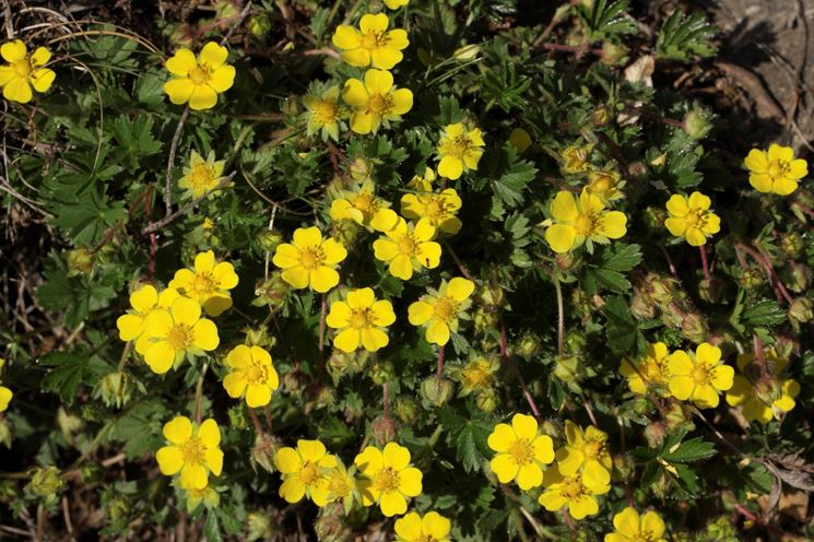 Piante da siepe siepi piante da siepe per giardino - Nomi di piante da giardino ...
