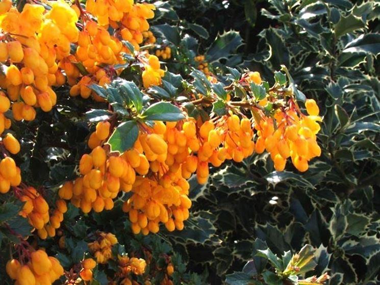 Piante da siepi sempreverdi siepi siepi sempreverdi for Fiori sempreverdi da giardino
