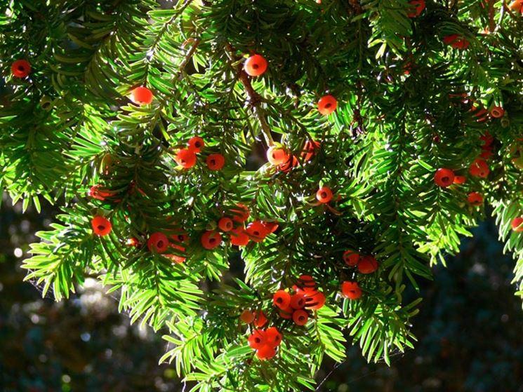 Fogliame e bacche di Taxus baccata