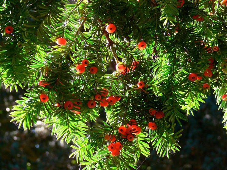 Piante da siepi sempreverdi siepi siepi sempreverdi for Piante verdi perenni da giardino