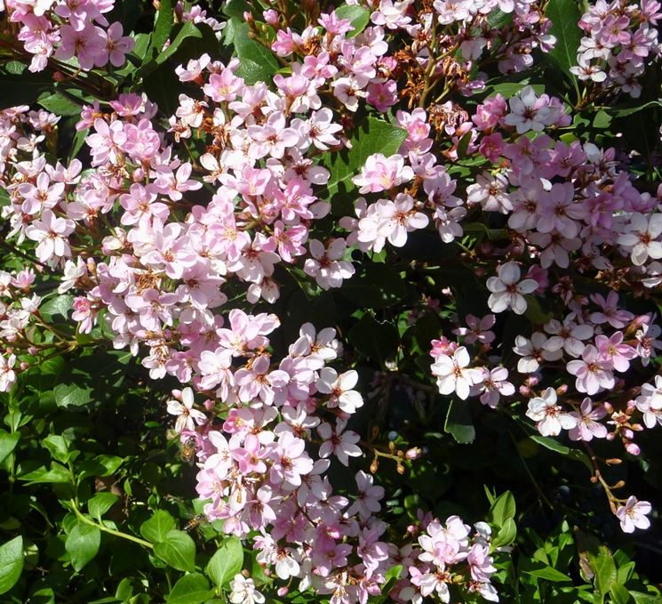 Infiorescenze e foglie di Raphiolepis