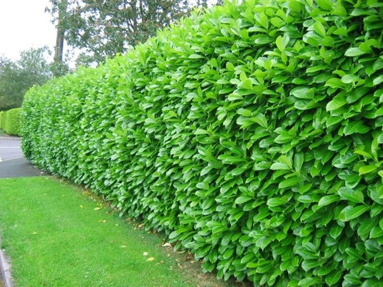 Piante sempreverdi da siepe siepi piante sempreverdi for Piante da terrazzo sempreverdi