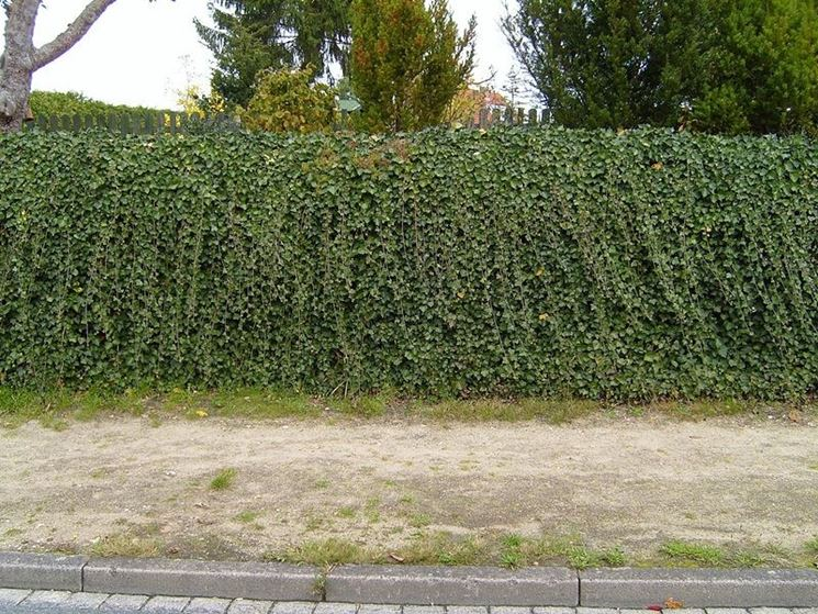 siepe di sempreverde rampicante