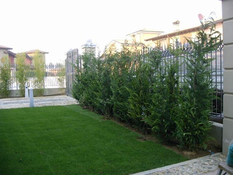 Pini da siepe siepi pini per realizzare siepi - Siepi da terrazzo ...