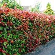 Una siepe di Photinia Red Robin