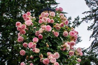 Un esemplare di rosa Pierre de Ronsard cresciuta intorno ad un lampione.