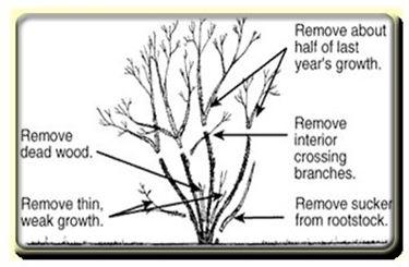 Schema della cura dele rose in fase vegetativa.