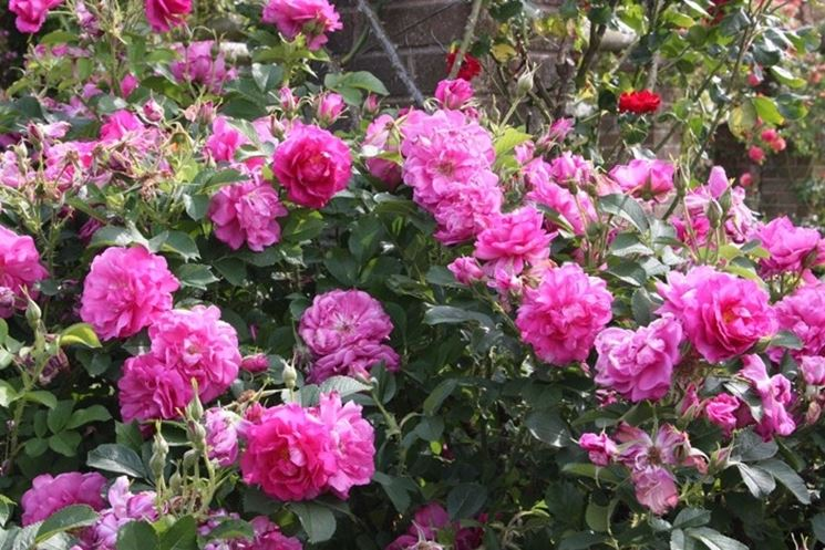 Rose da siepe siepi giardinaggio cura delle rose da siepe for Piante da cespuglio