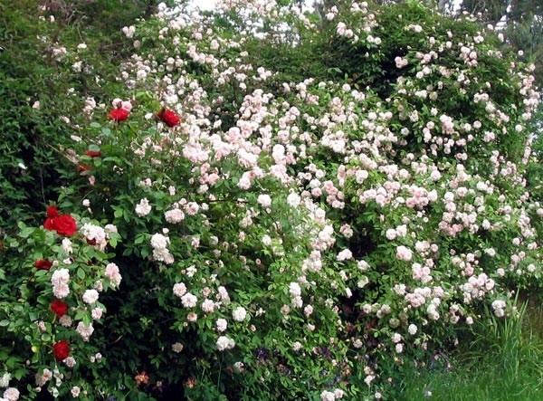 Rose da siepe siepi giardinaggio cura delle rose da siepe - Giardino con rose ...