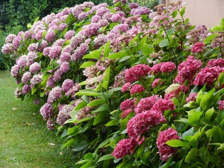 Siepe bassa siepi caratteristiche delle siepi basse - Siepi da giardino fiorite ...