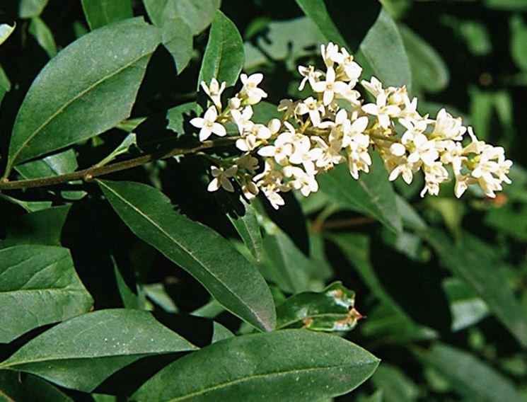 Dettagli dei fiori del ligustro