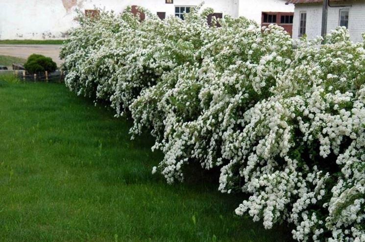 Siepe di spirea in fiore