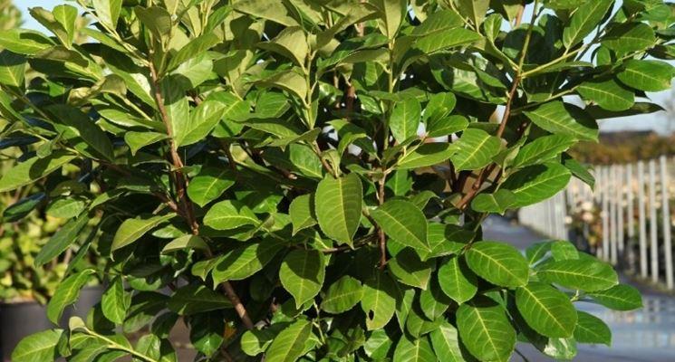 Siepe di lauro siepi coltivazione e cura di una siepe for Siepe in vaso