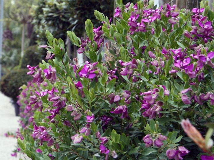 Siepe fiorita di poligala