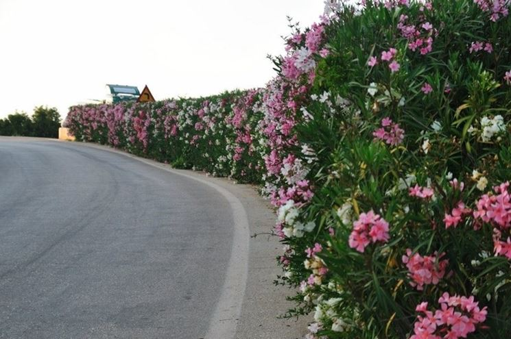 Siepe in fiore di oleandro