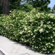 Siepe rampicante sempreverde
