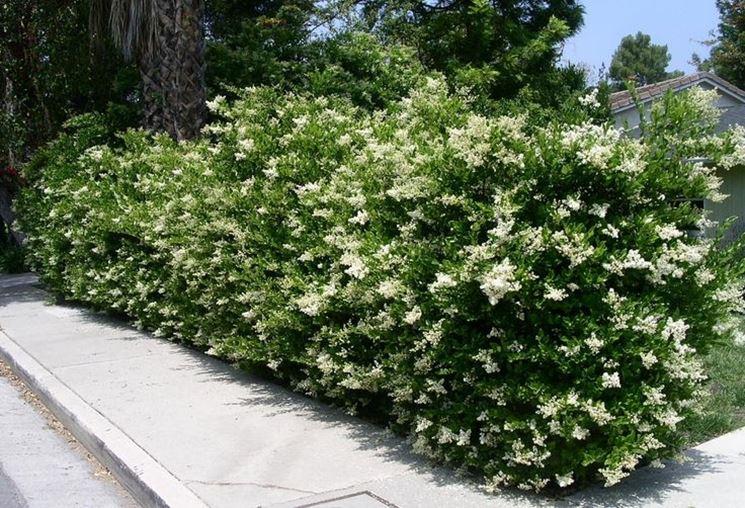 Siepe rampicante sempreverde siepi caratteristiche for Piante siepe sempreverde