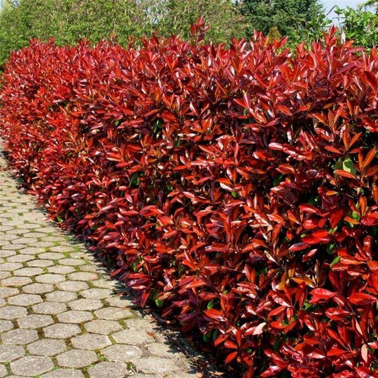 Dettaglio delle giovani foglie rosse della photinia