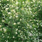 piante da siepe a crescita veloce