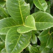 siepe lauroceraso verde