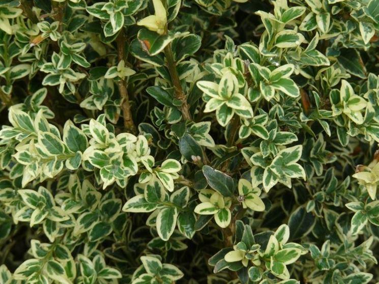 Dettaglio delle foglie del Boxwood shrubs