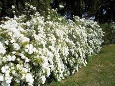 Siepi con fiori siepi siepi fiorite for Piante siepe sempreverde