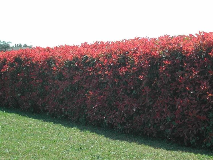 Siepe di Photinia Red Robin