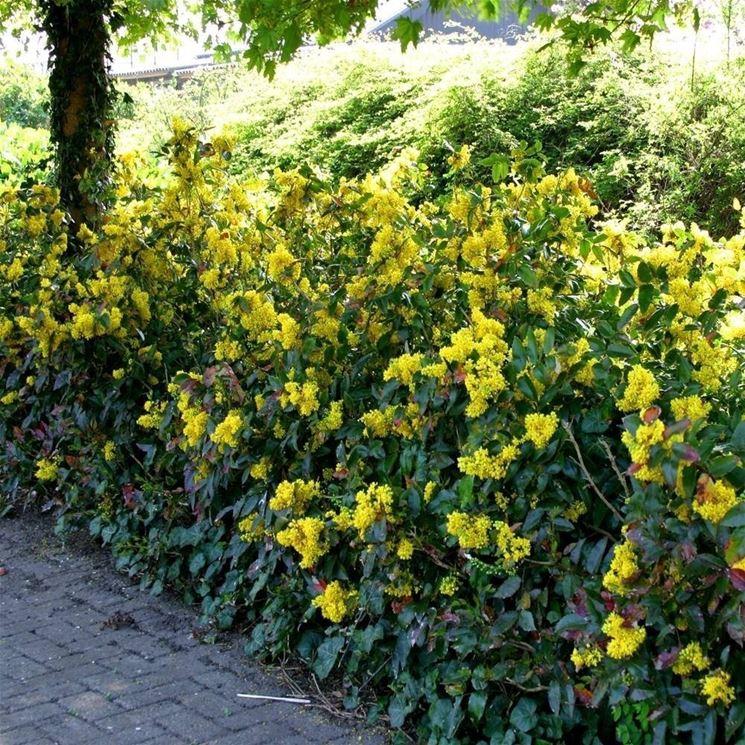 Siepi da giardino sempreverdi siepi siepi giardino for Piante per siepi sempreverdi