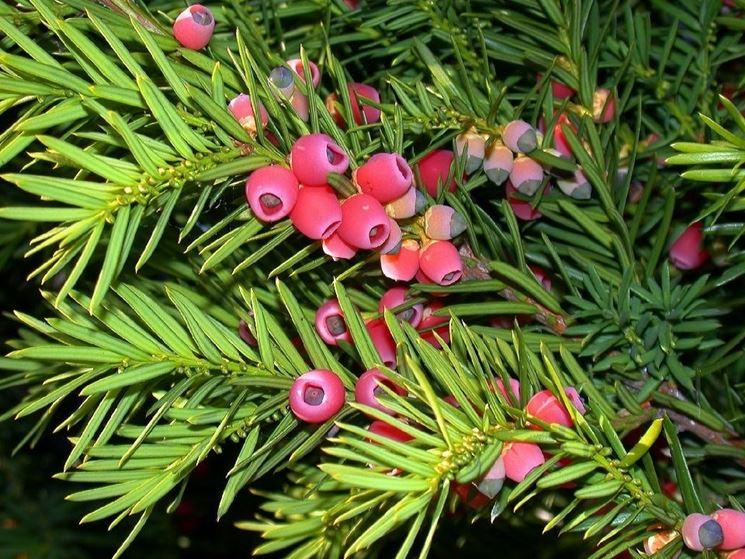 siepe di Taxus baccata