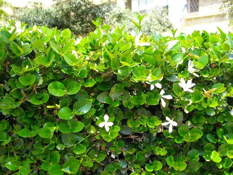 Siepi da recinzione siepi come scegliere le siepi - Siepi da giardino fiorite ...