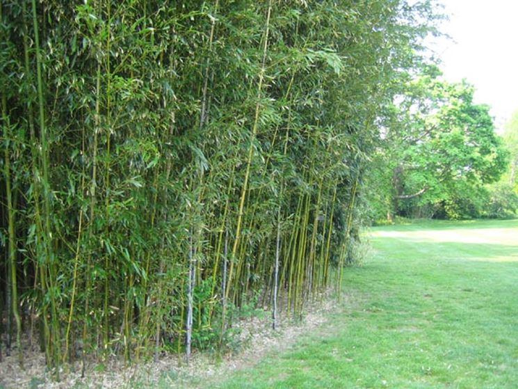 Fitta siepe di bambù