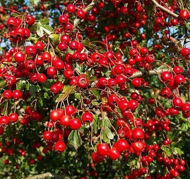 frutti di siepi di biancospino