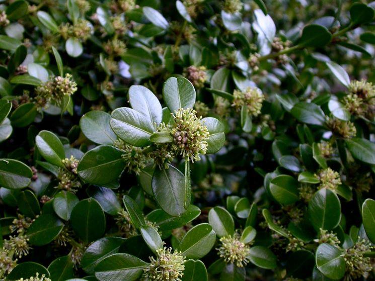 Foglie di Bosso Microphylla