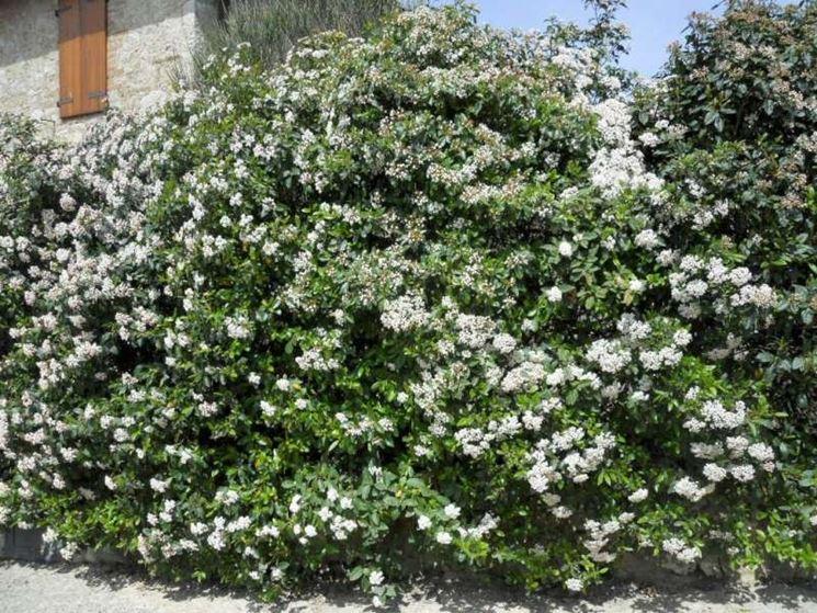 Siepi profumate siepi caratteristiche delle siepi profumate - Arbusti sempreverdi da giardino ...