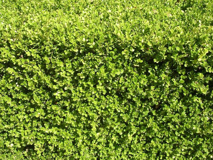 siepe sempreverde alloro