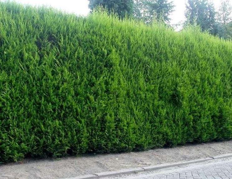 Siepe alta sempreverde di cipresso