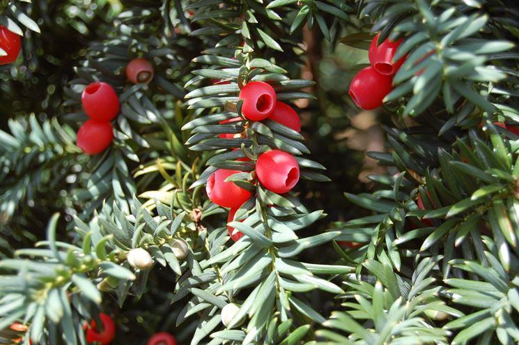 La particolare bacca rossa del Taxus Baccata