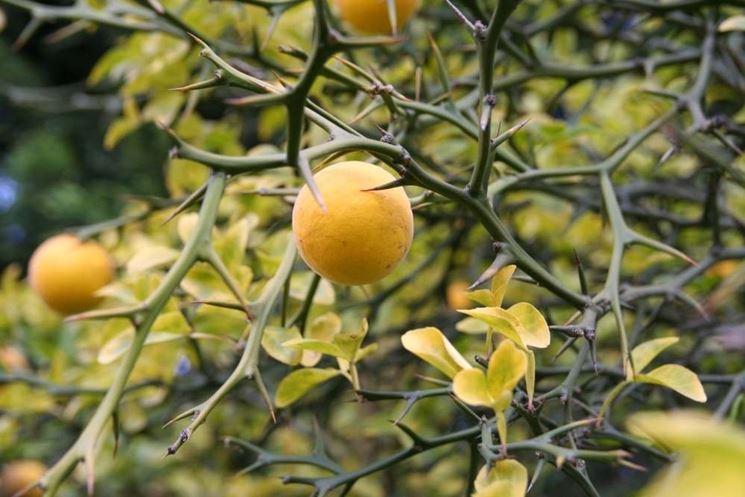 Dettaglio dei frutti dell'Arancio trifogliato e delle sue lunghe spine