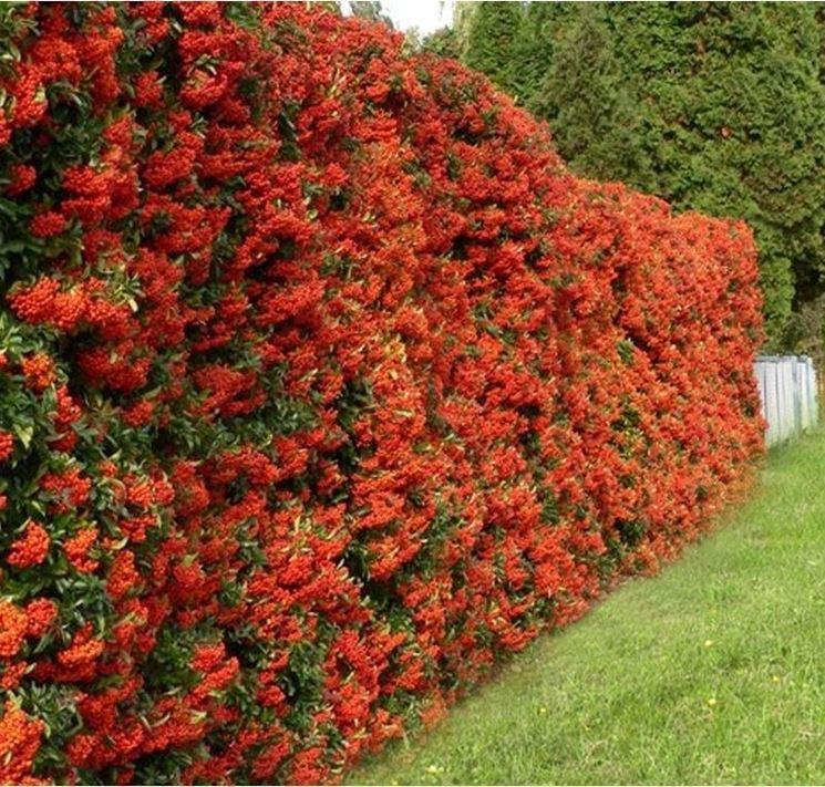 Siepe di Pyracantha con le caratteristiche bacche rosse
