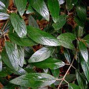 Dettaglio delle foglie diviburno lucido